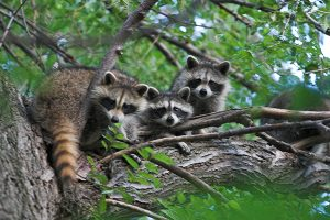 Damage-caused-by-Racoons