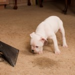 Pet stain carpet cleaning