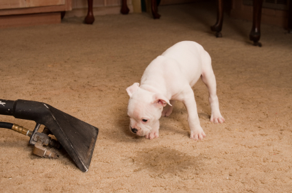 5 Steps for Removing Pet Urine Stains and Odors from the Carpet