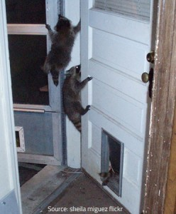 Raccoons are difficult to get rid of.
