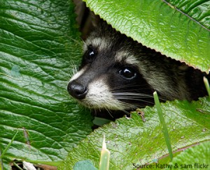 Raccoons are no threat outside our properties.