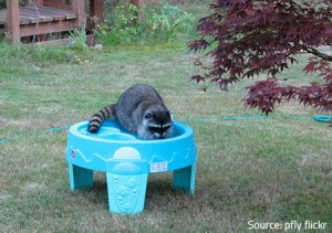 Raccoons are really curious.