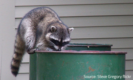 Raccoons are often rummaging garbage cans.