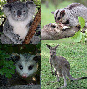 Marsupials are unique animals.
