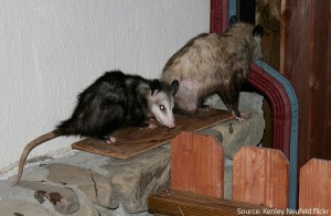 Opossums make holes and break ducts.