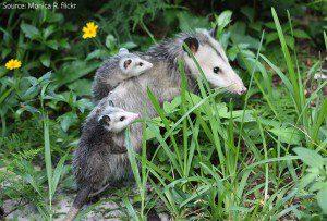 Opossum family.
