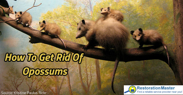 How To Get Rid Of Opossums Prevention And Removal Tips