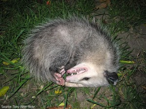 Opossums act in self-defense.