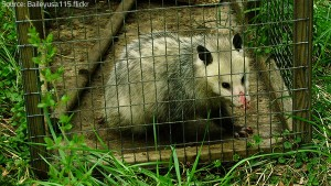 Trapping opossums is an easy and effective removal method.