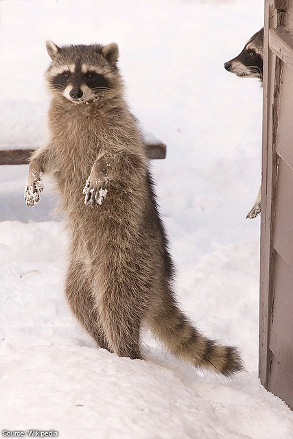 How To Discover And Remove Raccoons From Your Attic