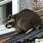 Removing Raccoons from the attic