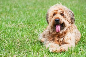 shaggy-dog-causes-of-allergies