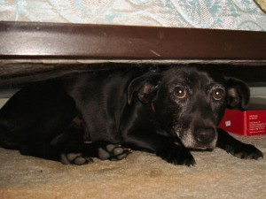 Hiding-Dog-Under-Bed